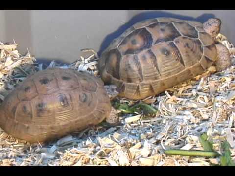Golden Greek Tortoises Mating Ritual