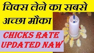 चिक्स डालने का बेहतरीन समय | chicks delivery in poultry farm with low rate