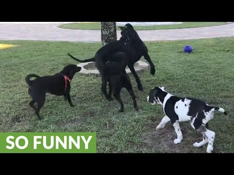 Happy Great Dane & puppy enjoy dog party