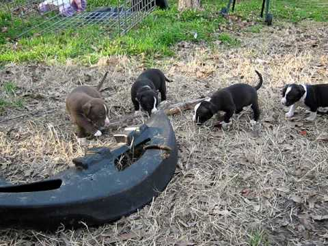 Black And Fawn Pit Bull Puppies