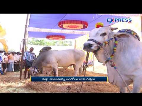Ongole Bull race at Kandukur Village Khammam district - Express TV