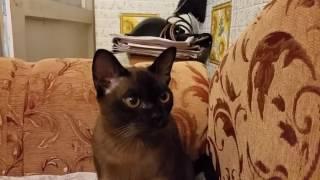 Бурманская кошка Люсиль