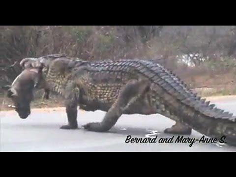 1m High Huge Crocodile Eating Warthog in the Road - Kruger Sightings