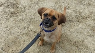 Poppy - Puggle - 3 Week Residential Dog Training at Adolescent Dogs