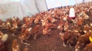 New Poultry Farming in Uganda Okulunda Enkoko Zamagi