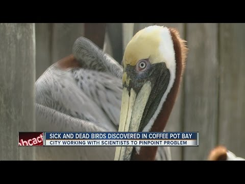 St. Pete looking for cause of dead fish, pelicans