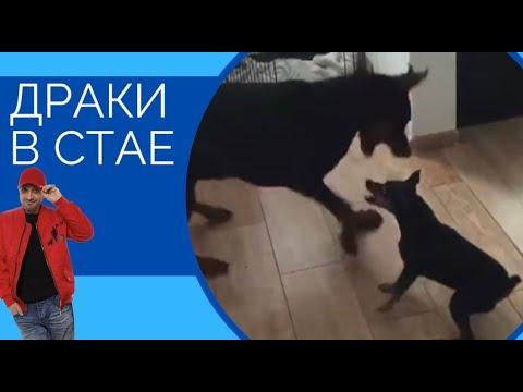 Цвергпинчер против Добермана(драки в стае)