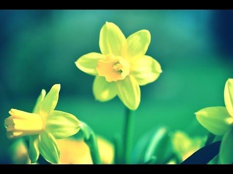 Classic Poetry: To Daffodils by Robert Herrick (Lark Recordings)
