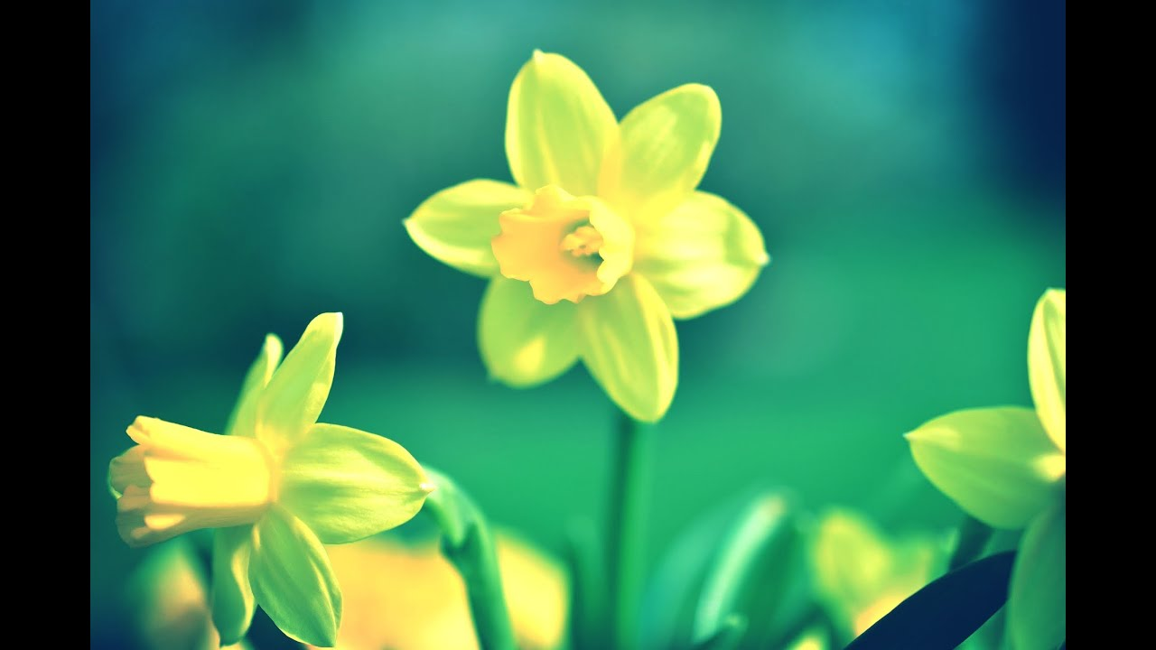 to daffodils by robert herrick