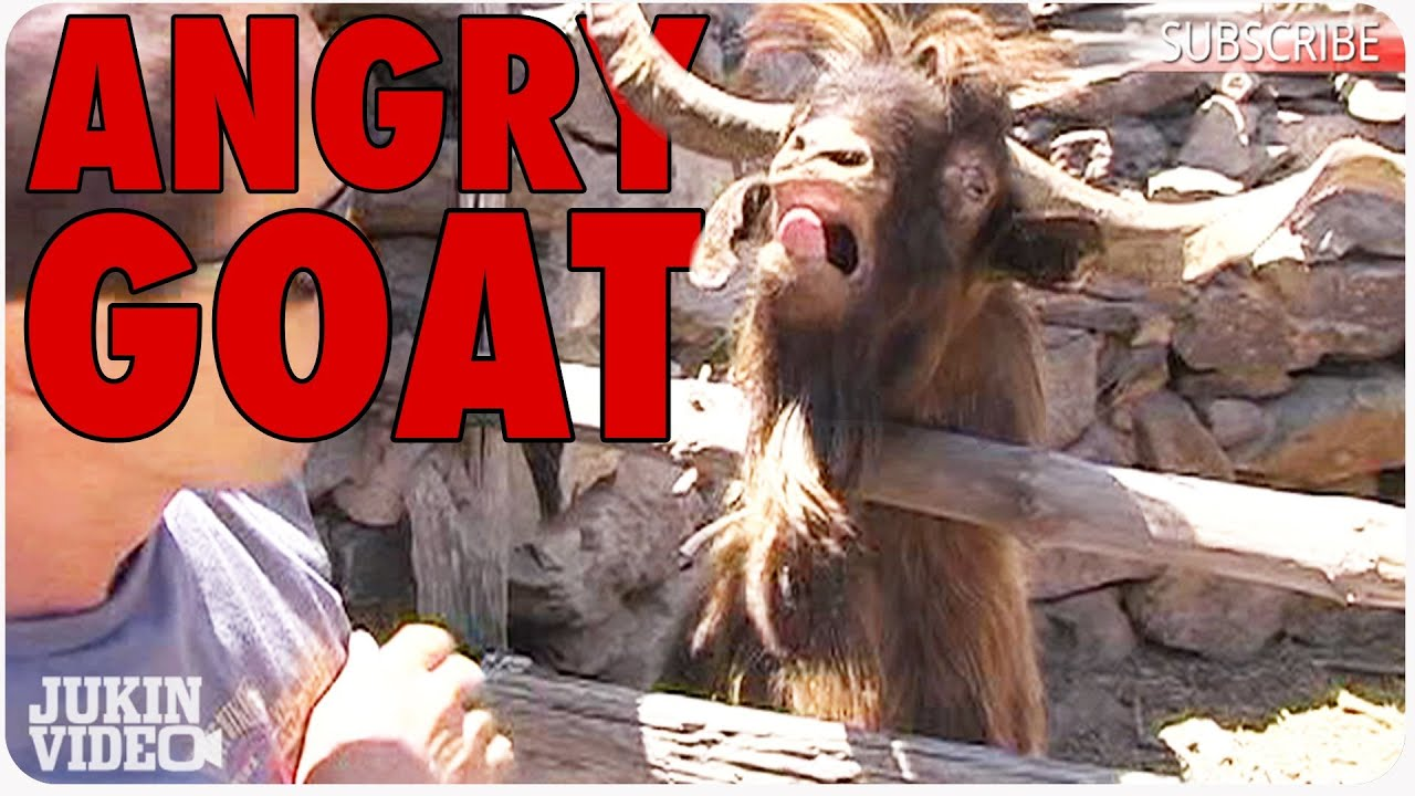 Ibex Goat Gets Angry | Throwback Thursday