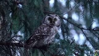 Мохноногий сыч ( англ. Boreal Owl)