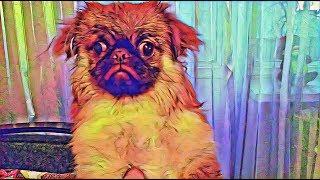 Как ПАПА моет нашу собаку породы Пекинес по кличке Герда