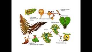 Ботаника - систематика. Папоротникообразные