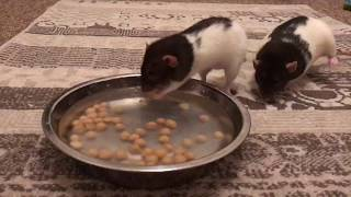 Download Video Cute Rescue Rats Love Chickpeas! MP3 3GP MP4