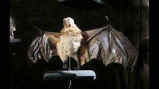 已絕種動物 非洲 近代滅絕 Mauritian Flying Fox 毛里求斯狐蝠