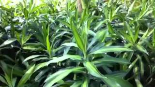 Dracaena reflexa: Song of Jamaica.