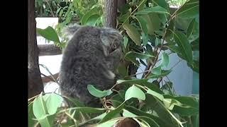 Kanga kanga Kangaroo