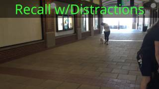 Sherlock, Mini Poodle, Puppy Obedience, Puppy Academy, Good Dog Dc Dog Training
