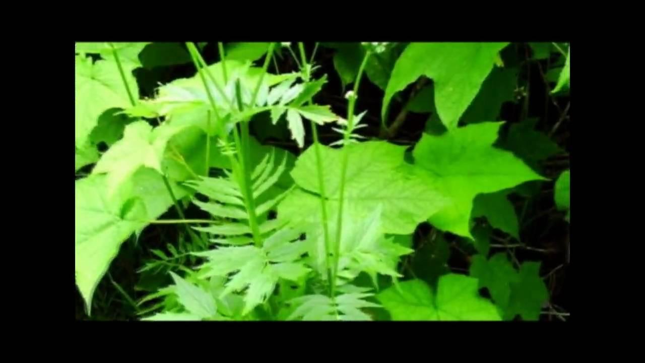 "valarian root herbal medicine by Walking Bear ""The Plant Whisperer"" #Herbalmedicine"