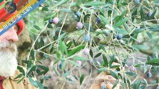 Raccolta di olive Lazzere (olive dolci) per farle direttamente saltate in padella con il Bocca