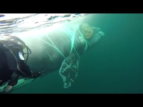 Navy Divers Spend Hour Untangling Whale Trapped In Fishing Line