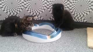 Игры котят мейн-кунов полидактов