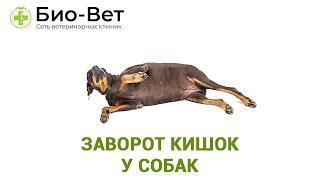 Заворот кишок у собак. Ветеринарная клиника Био-Вет.