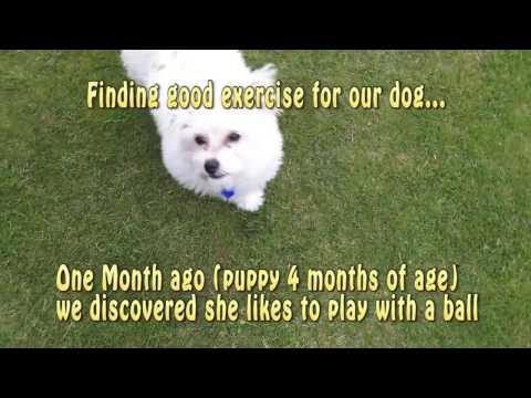 Soccer Chihuahua x Bichon Frise (chi-chon) 4 months puppy play ball