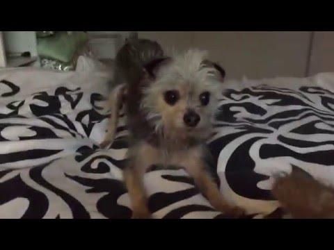 Half Chihuahua Half Yorkie Fights for His Stuffed Bunny