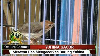 Merawat dan Mengacorkan Burung YUHINA