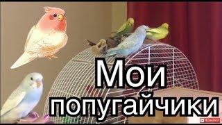 Мои попугайчики! Красивые птенцы волнистого попугая