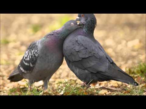 da janat marghay kamtaray (Ghani Khan) دَ جنت مرغئ کمترے ـ غنی خان