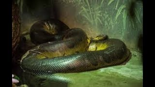 Wild discovery channel animals we caught giant snake Anaconda Animal planet documentary