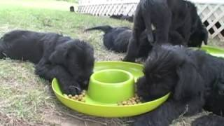 Natural Giant Schnauzer Puppies 8 Weeks Old Today - Part 6