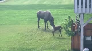 baby moose playing in backyard sprinkler 1050234