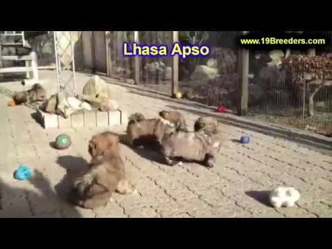 Lhasa Apso, Puppies, Dogs, For Sale, In Montgomery, Alabama, AL, 19Breeders, Hoover, Auburn