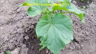 ogórki w moim ogrodzie uprawa i podlewanie Ważne porady działkowe