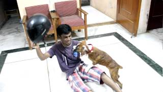 Niko Boxer Dog , Funny Fight With Helmet :d