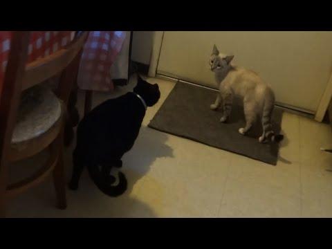 Black cat NOT amused by siamese kitten