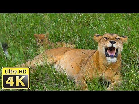 Afrikas Tierwelt / Amazing 4k video ultra hd
