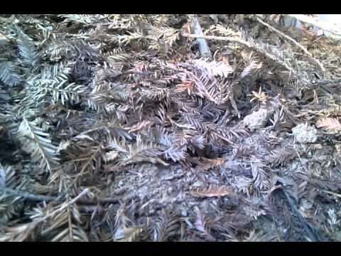 how to find a hornets nest in the ground