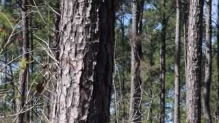 Introduction to Loblolly Pine