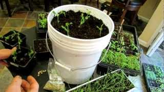 Seed Starting Peas Indoors And Container Planting: The Rusted Garden 2013