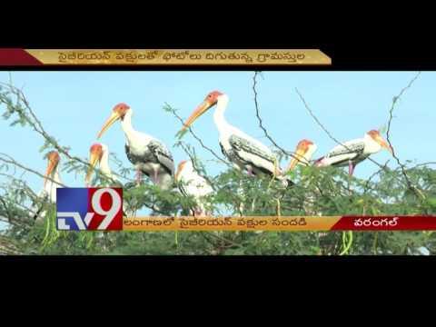 Siberian Cranes bring cheer to North Telangana - TV9