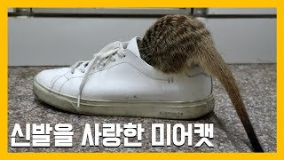 신발을 사랑한 미어캣 [냥이아빠]