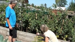 Теплая грядка и томаты в Сибири