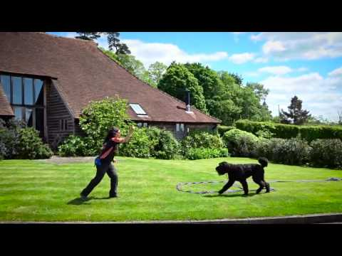 Boaz - Bouvier De Flandres - 4 Week Residential Dog Training at Adolescent Dogs