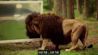 Khi Sư Tử Soi Gương   lion   mirror .hài hước  động vật  coi cấm cười