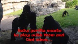 Baby Interferes as Giant Silverback Gorillas Mating at Disneys Animal Kingdom