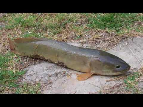 What is a Mudfish - YouTube